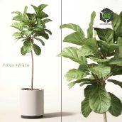 Ficus Lyrata(3ddanlod.ir) 144
