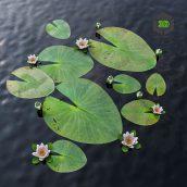 7 (3ddanlod.ir) water lily