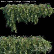 Acacia Cognata Limelight Weeping Acacia(3ddanlod.ir) 1644