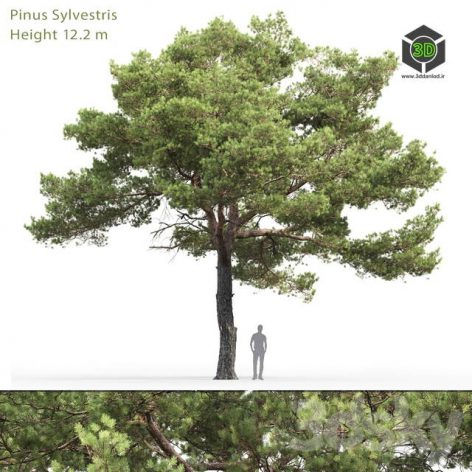 Common Pine(3ddanlod.ir) 1839
