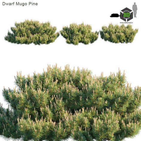 Dwarf Mugo Pine(3ddanlod.ir) 1955