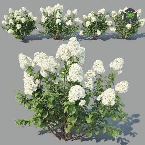 Hydrangea Paniculata 4 Variations(3ddanlod.ir) 2021
