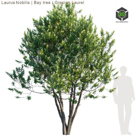 Laurus Nobilis Bay Tree Grecian Laurel Tree(3ddanlod.ir) 2048
