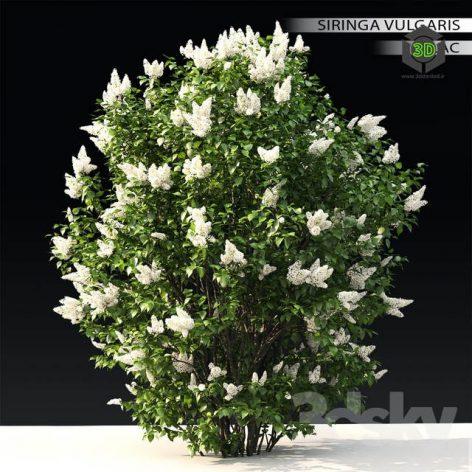 Lilac Blooming N3(3ddanlod.ir) 1087