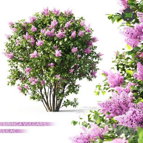 Lilac Blooming(3ddanlod.ir) 1036