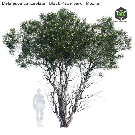 Melaleuca Lanceolata Black Paperbark Moonah 1(3ddanlod.ir) 2070