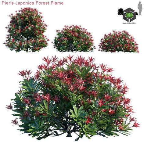 Pieris Japonica Forest Flame(3ddanlod.ir) 3931