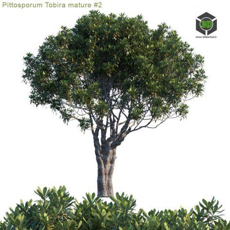 Pittosporum Tobira Mature 2(3ddanlod.ir) 3936