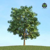 003_Quercus (3ddanlod.ir)