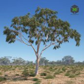 AM238_007_Eucalyptus (3ddanlod.ir)
