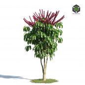 AM_154_054_Schefflera_Actinophylla (3ddanlod.ir)