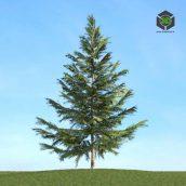040_Picea (3ddanlod.ir)