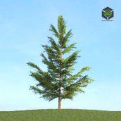 041_Picea (3ddanlod.ir)