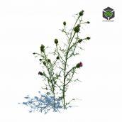 072_Cirsium_vulgare_v3 (3ddanlod.ir)