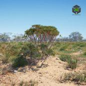 AM238_043_Eucalyptus (3ddanlod.ir)