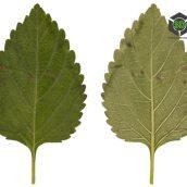 Leaf029 (3ddanlod.ir)