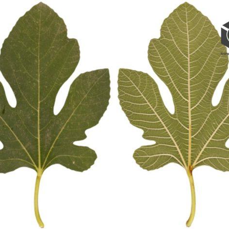 Leaf055 (3ddanlod.ir)