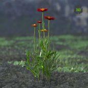 AM214_022_Helichrysum_bracteatum(3ddanlod.ir)